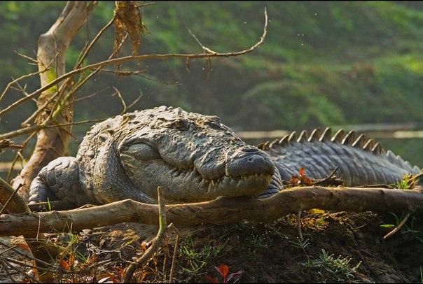 http://crocodile21.ucoz.ru/bolotnyj_krokodil..jpg